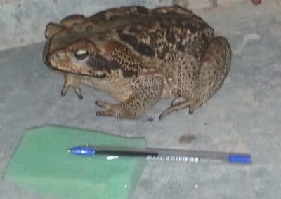 poisonous cane toad, likes to roam in our kitchen. called 'little Prince'