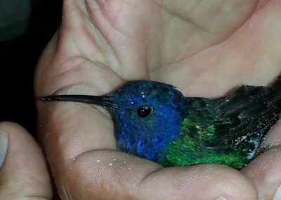 hummingbird in hypothermia, after warming and honey she flew away